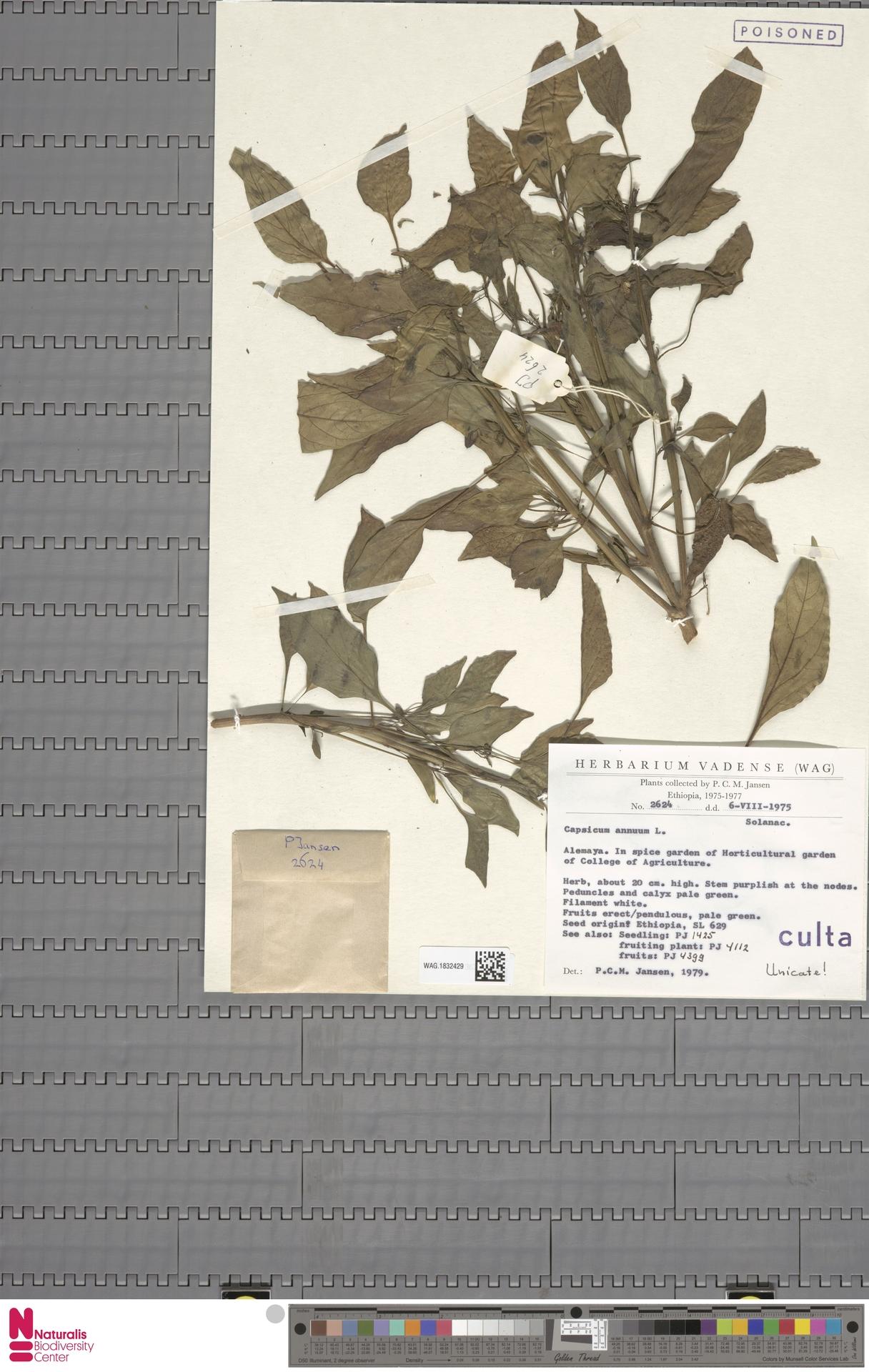 WAG.1832429 | Capsicum annuum L.