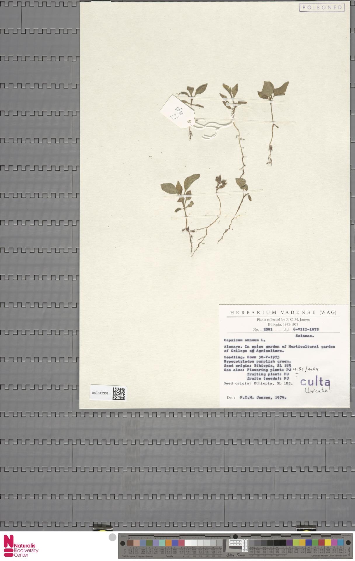 WAG.1832436 | Capsicum annuum L.