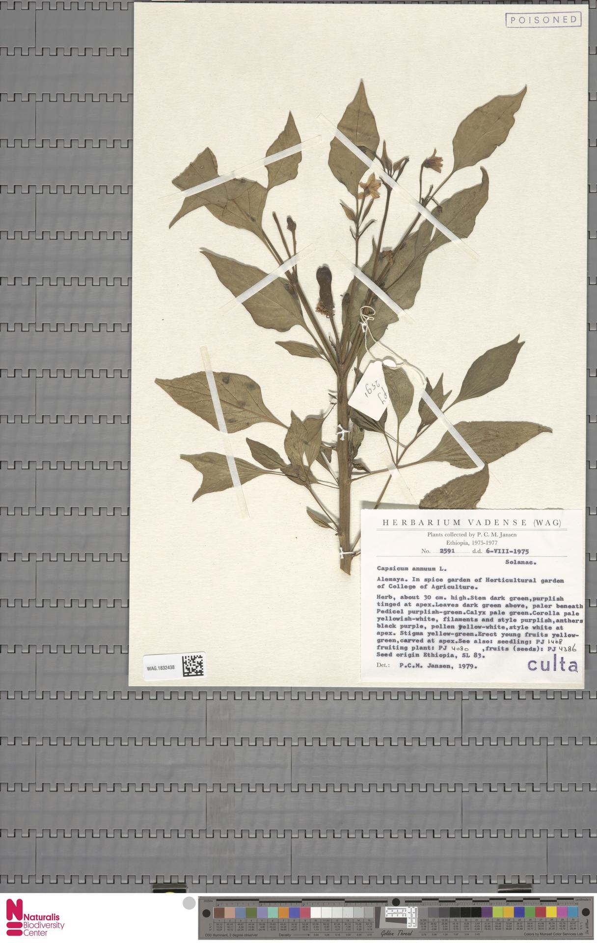 WAG.1832438 | Capsicum annuum L.