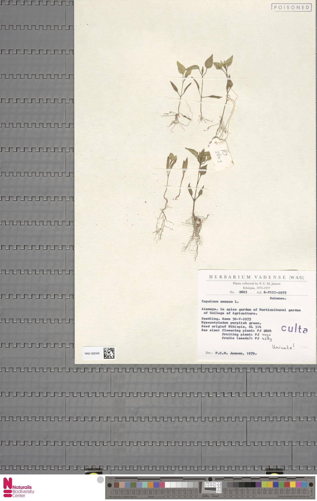 WAG.1832445 | Capsicum annuum L.