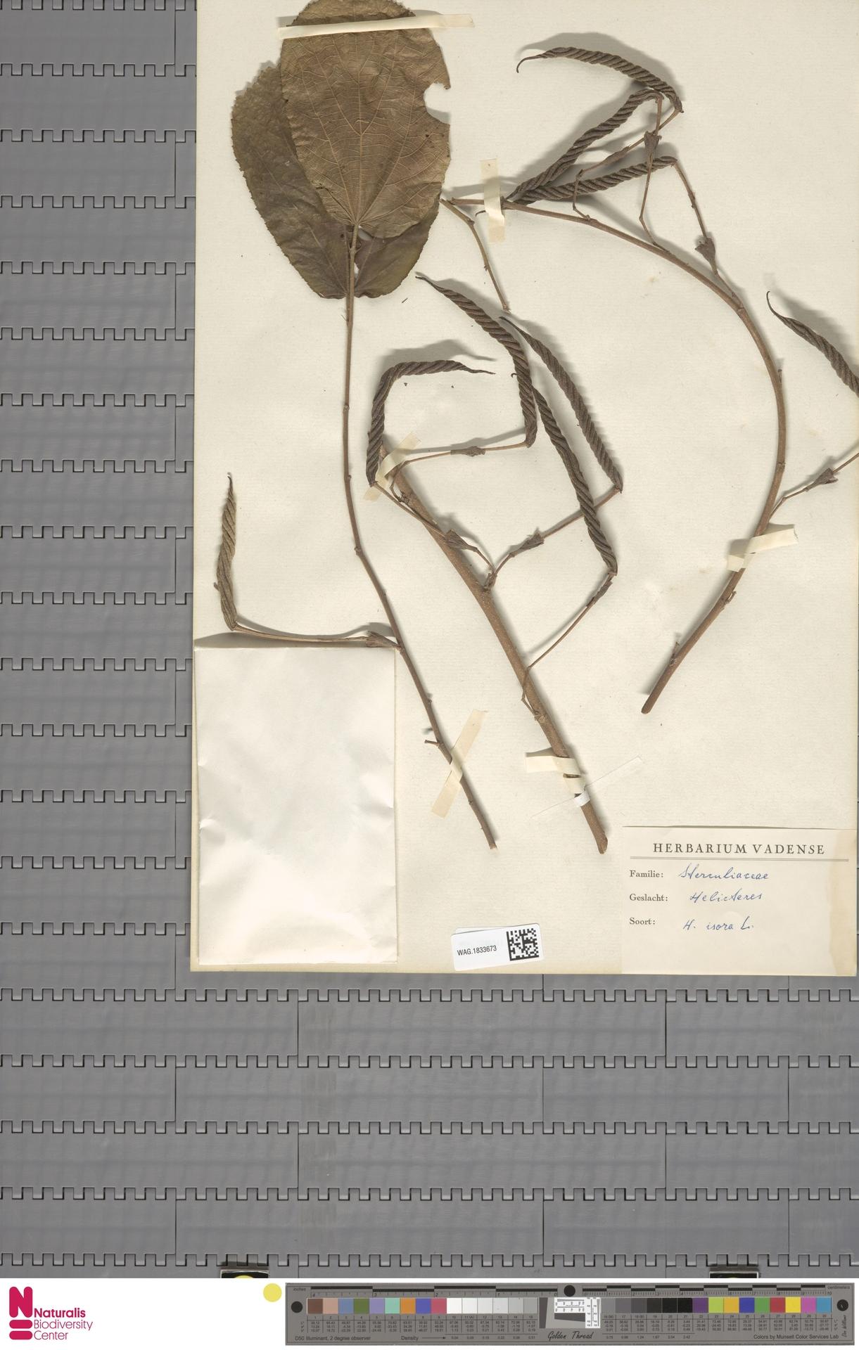 WAG.1833673 | Helicteres isora L.