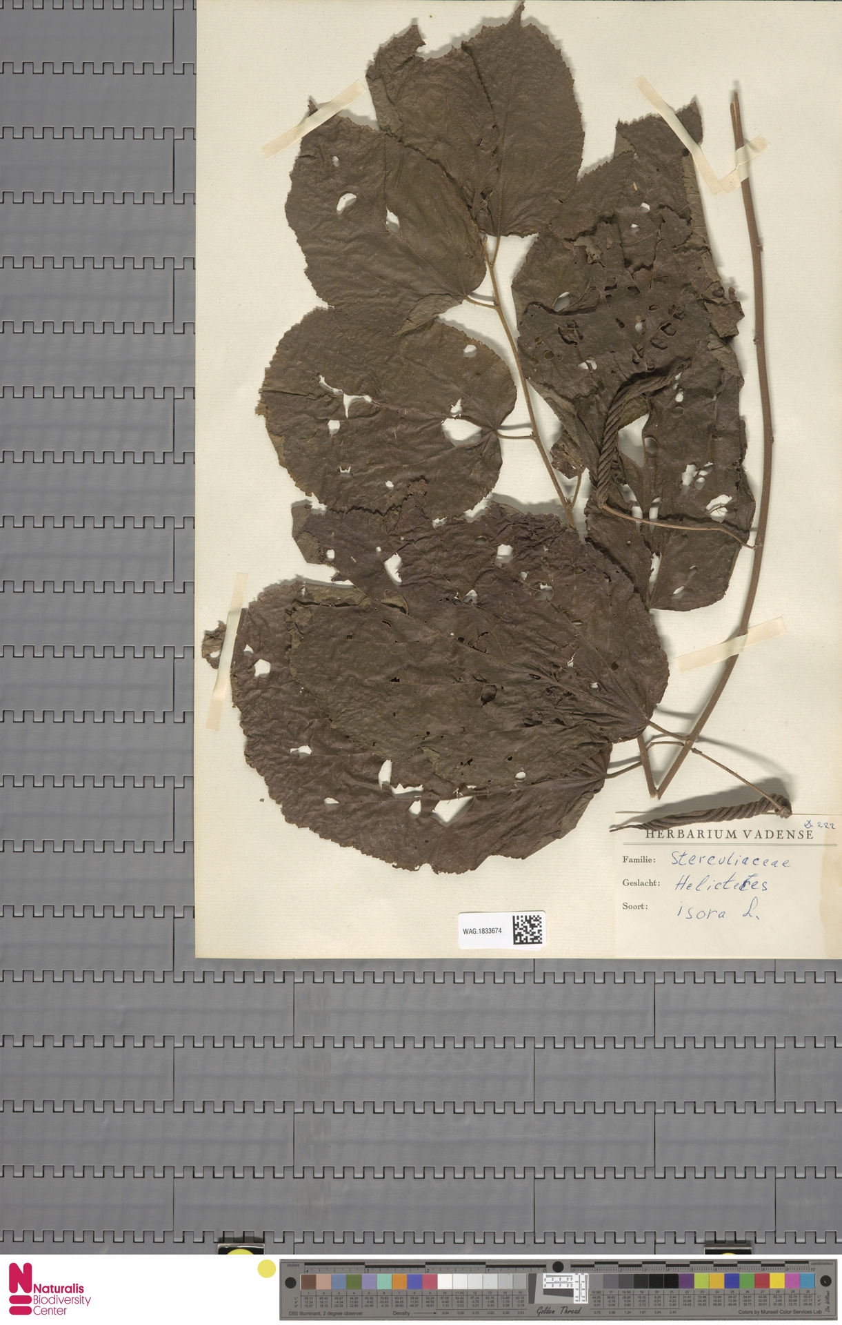 WAG.1833674 | Helicteres isora L.