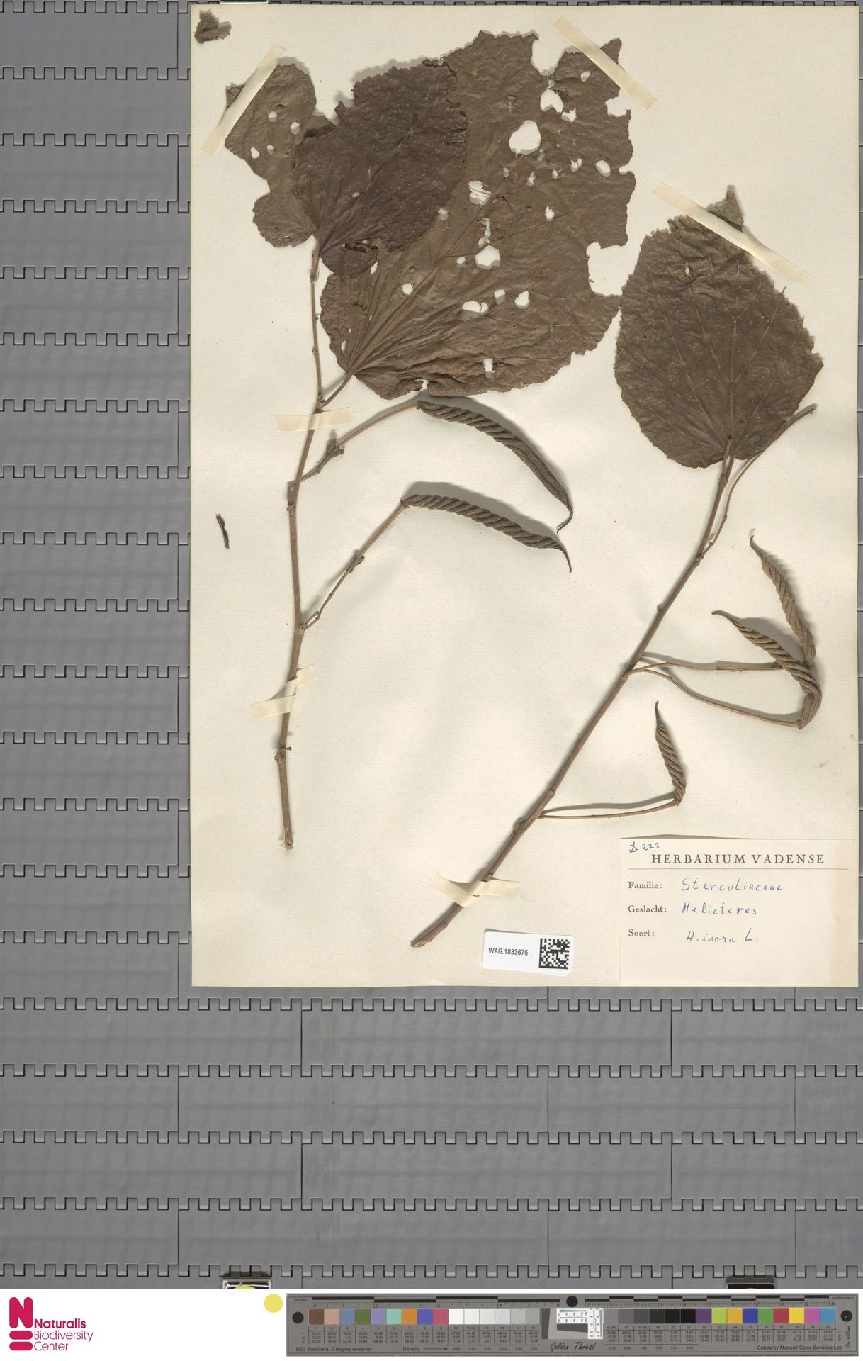 WAG.1833675 | Helicteres isora L.