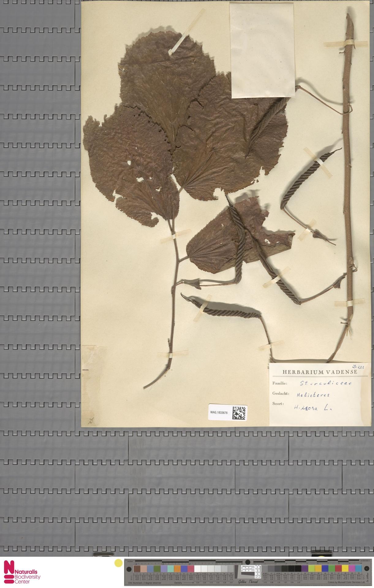 WAG.1833676 | Helicteres isora L.