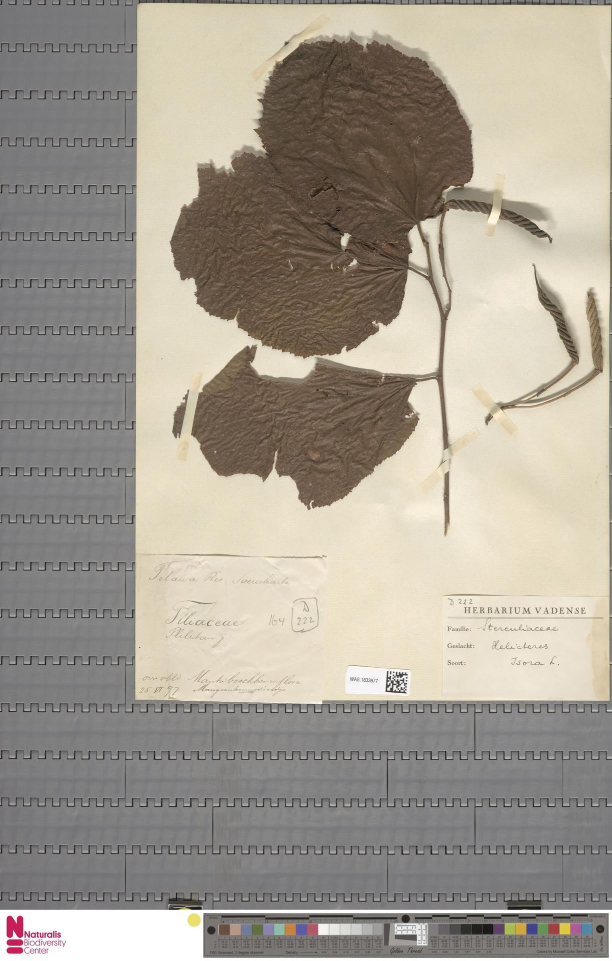 WAG.1833677 | Helicteres isora L.