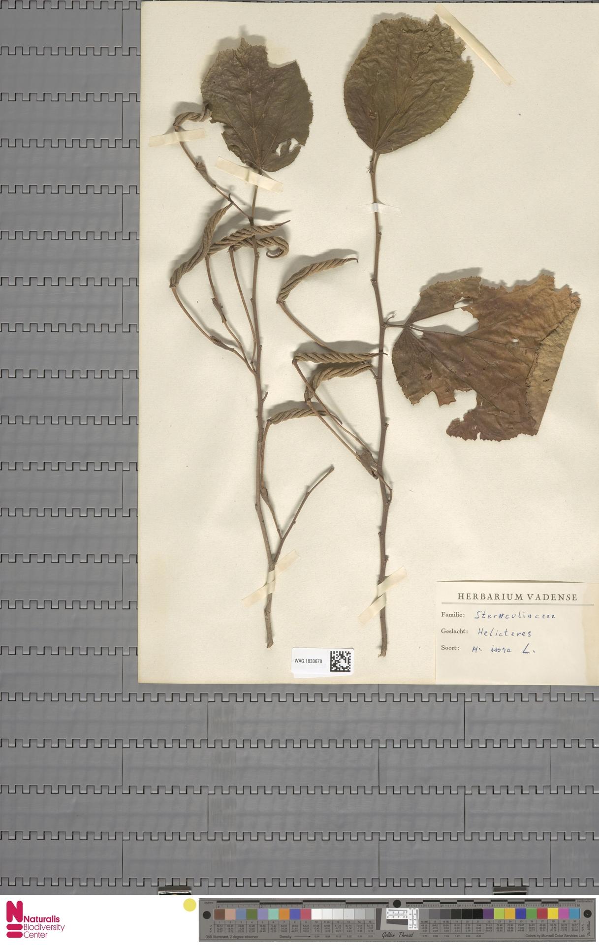 WAG.1833678 | Helicteres isora L.