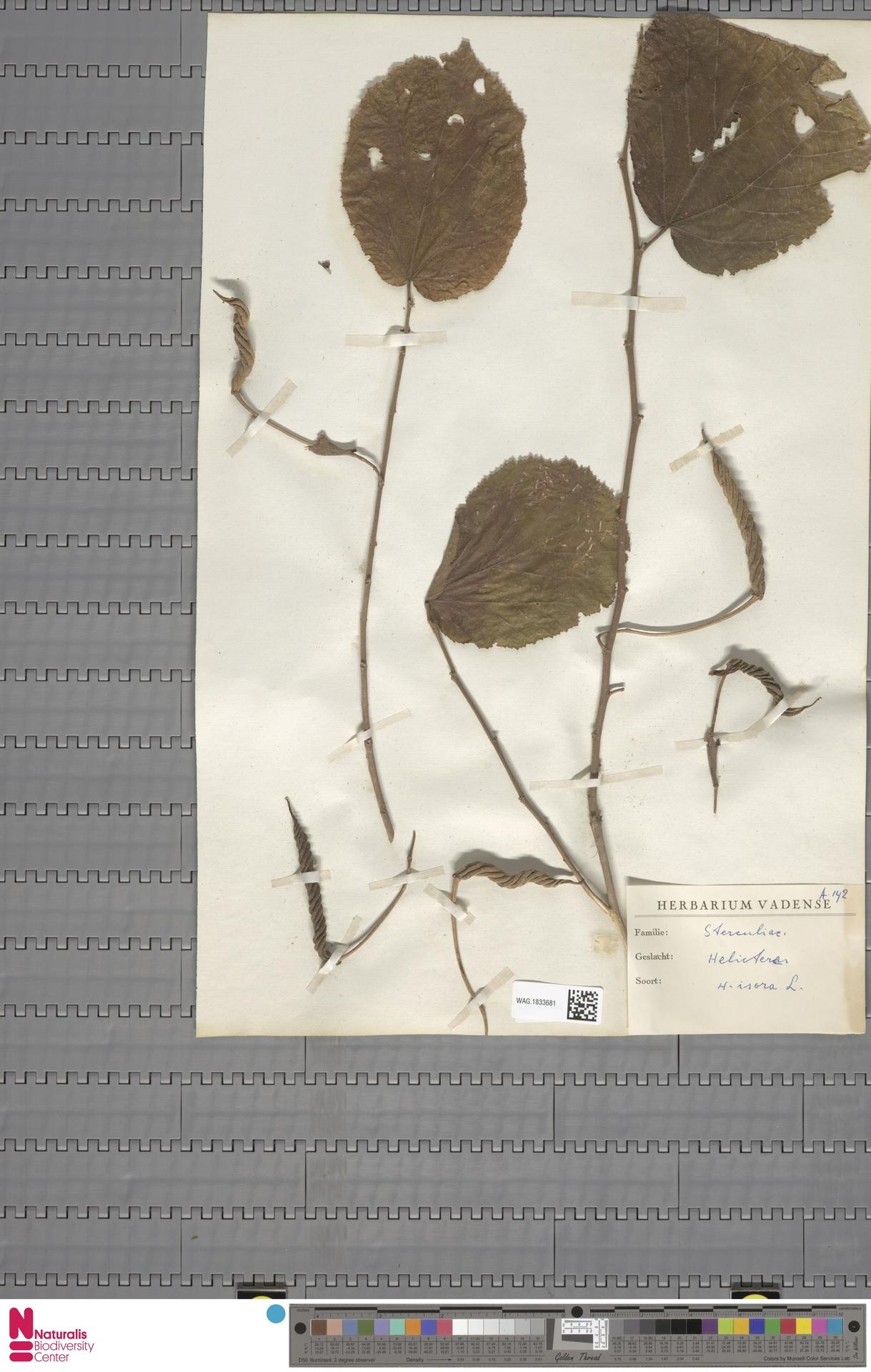 WAG.1833681 | Helicteres isora L.