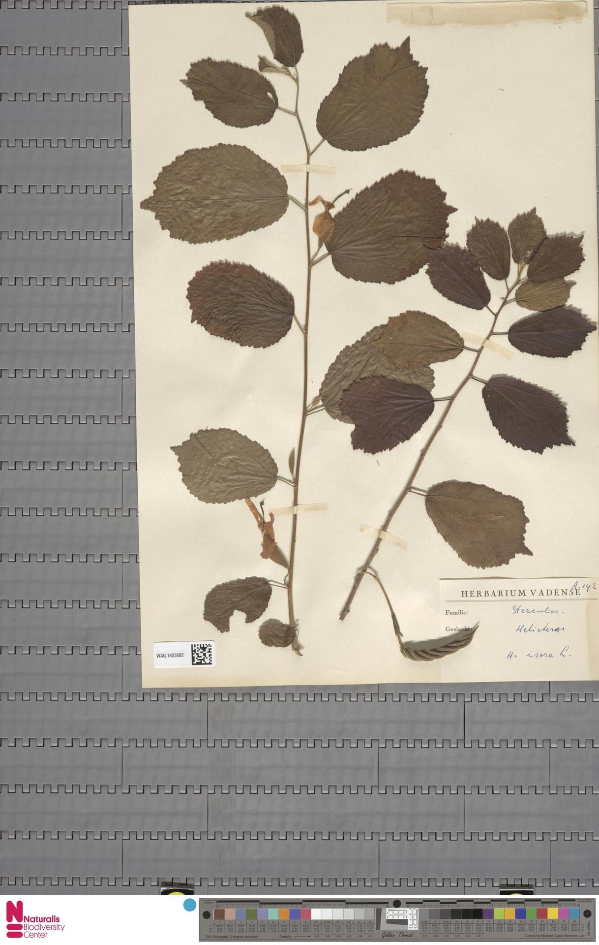 WAG.1833682 | Helicteres isora L.