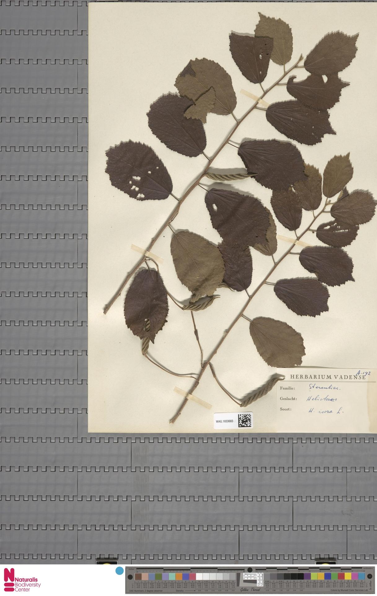 WAG.1833683 | Helicteres isora L.