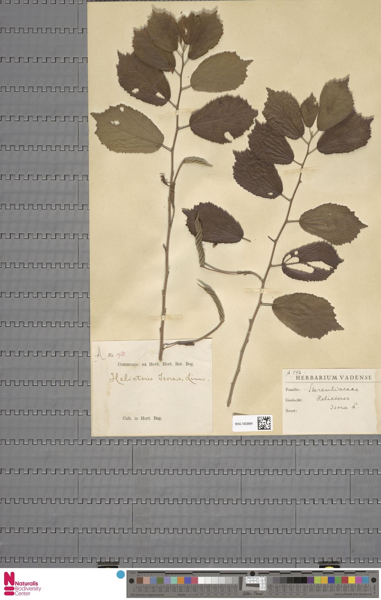 WAG.1833684 | Helicteres isora L.