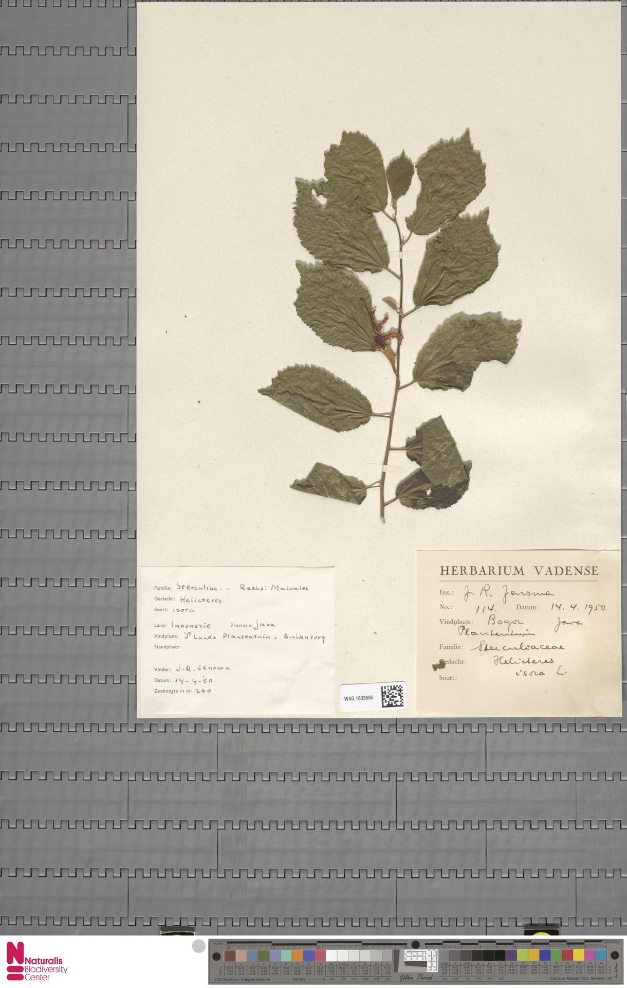 WAG.1833686 | Helicteres isora L.