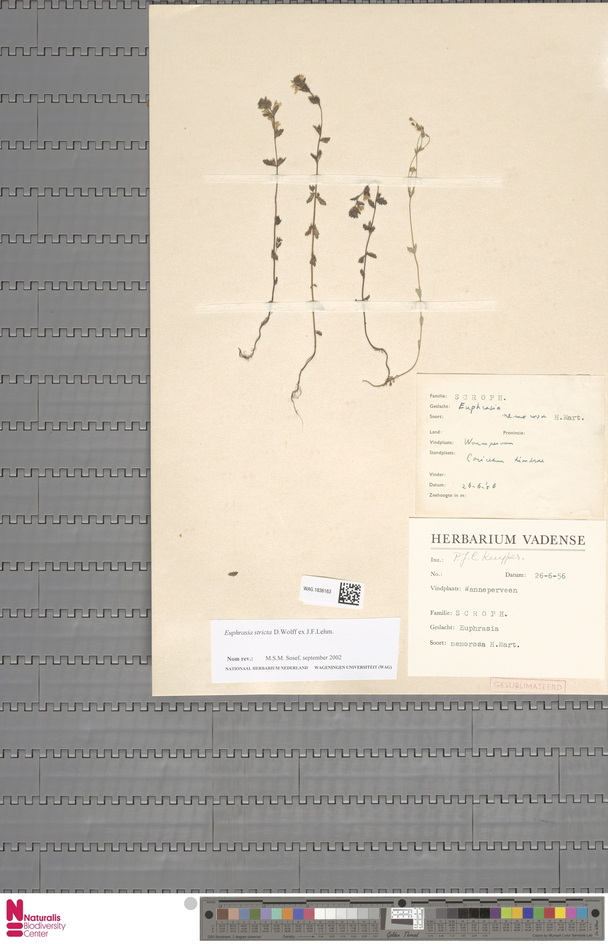 WAG.1836163 | Euphrasia stricta J.P.Wolff ex J.F.Lehm.