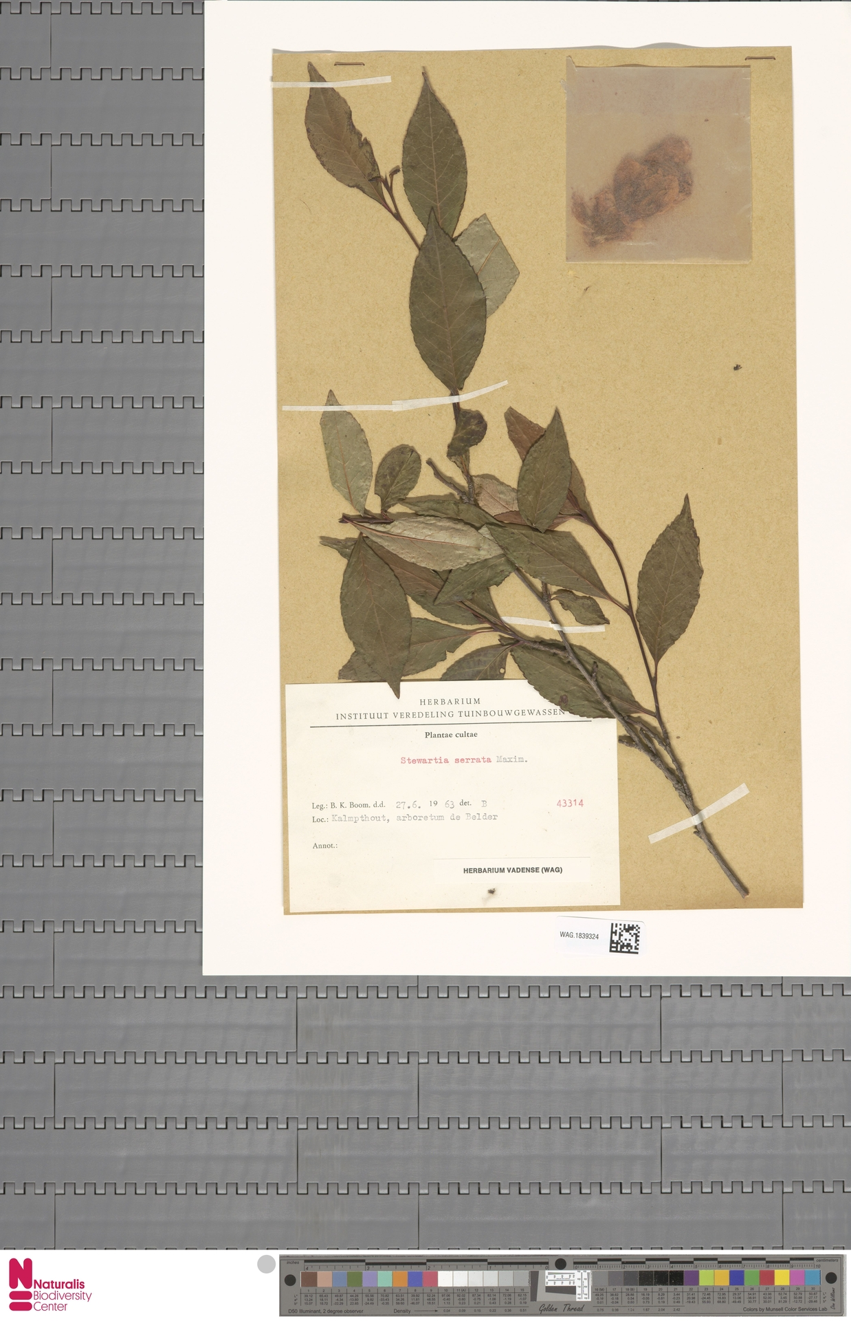 WAG.1839324   Stewartia serrata Maxim.