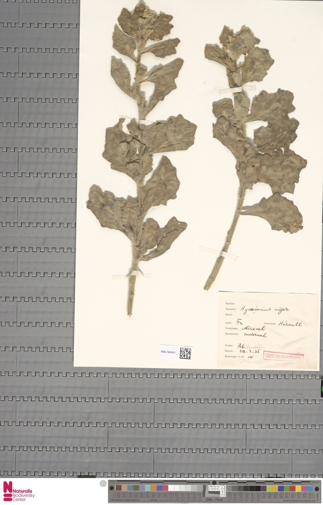 WAG.1842421 | Hyoscyamus niger L.