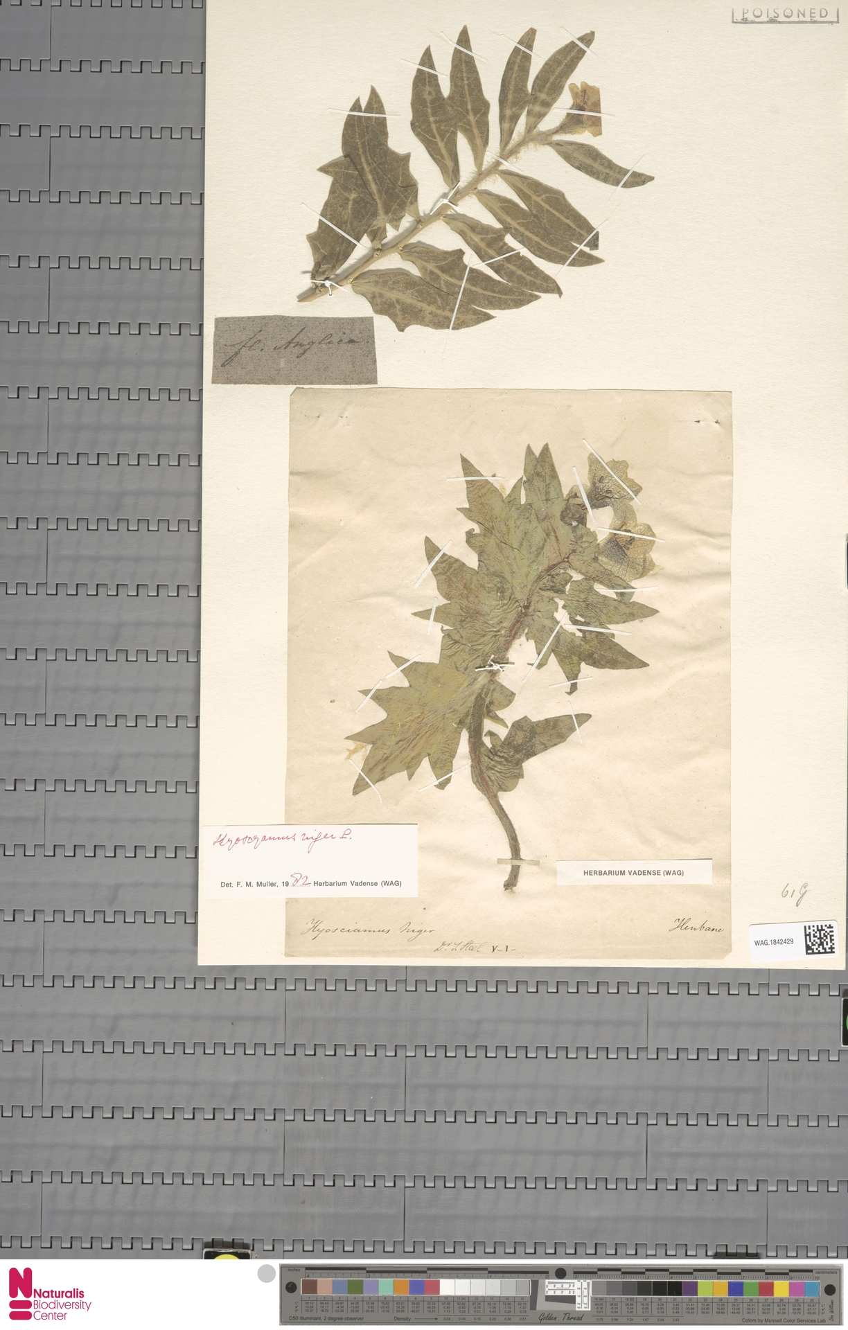 WAG.1842429 | Hyoscyamus niger L.