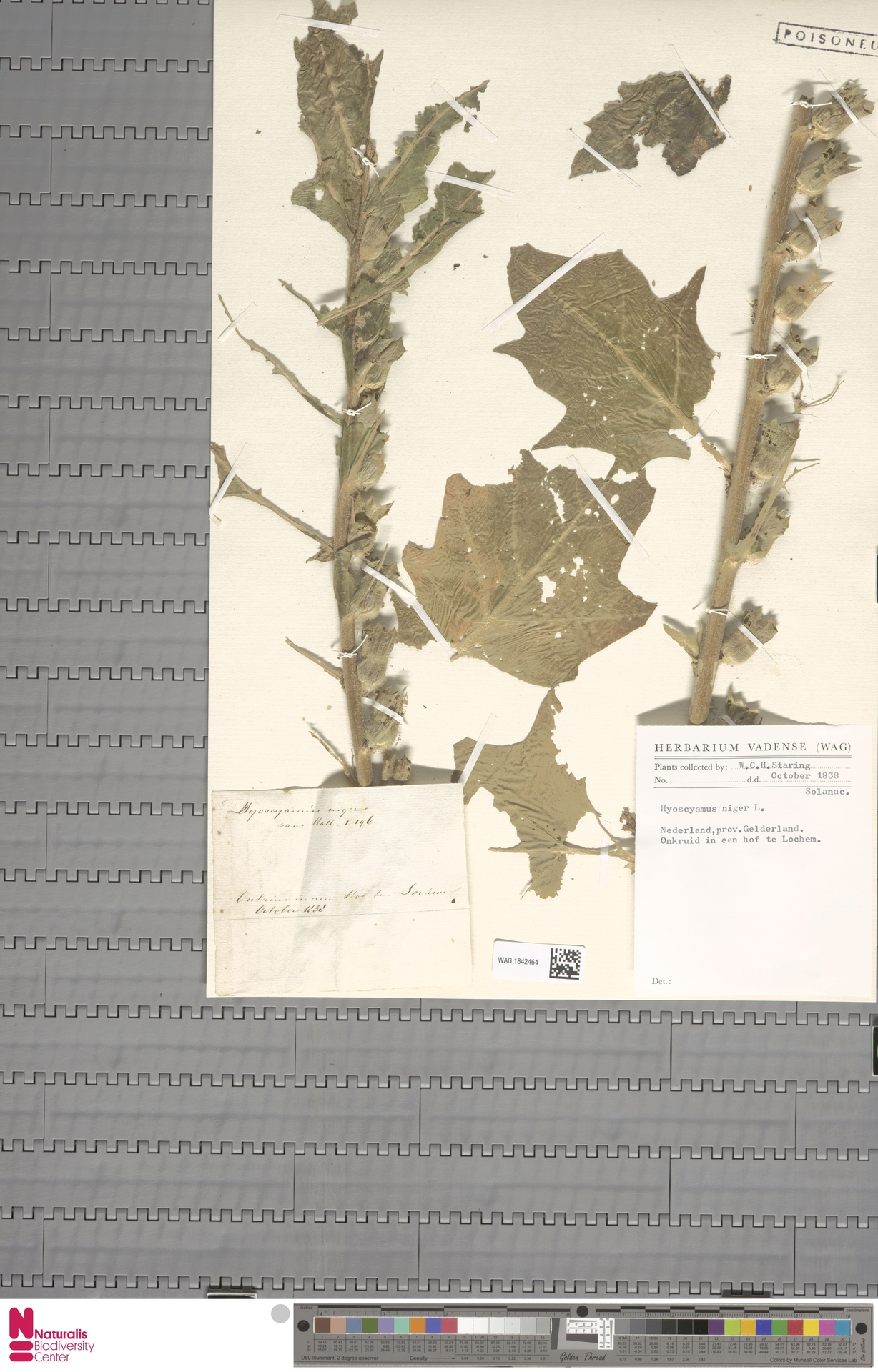 WAG.1842464 | Hyoscyamus niger L.