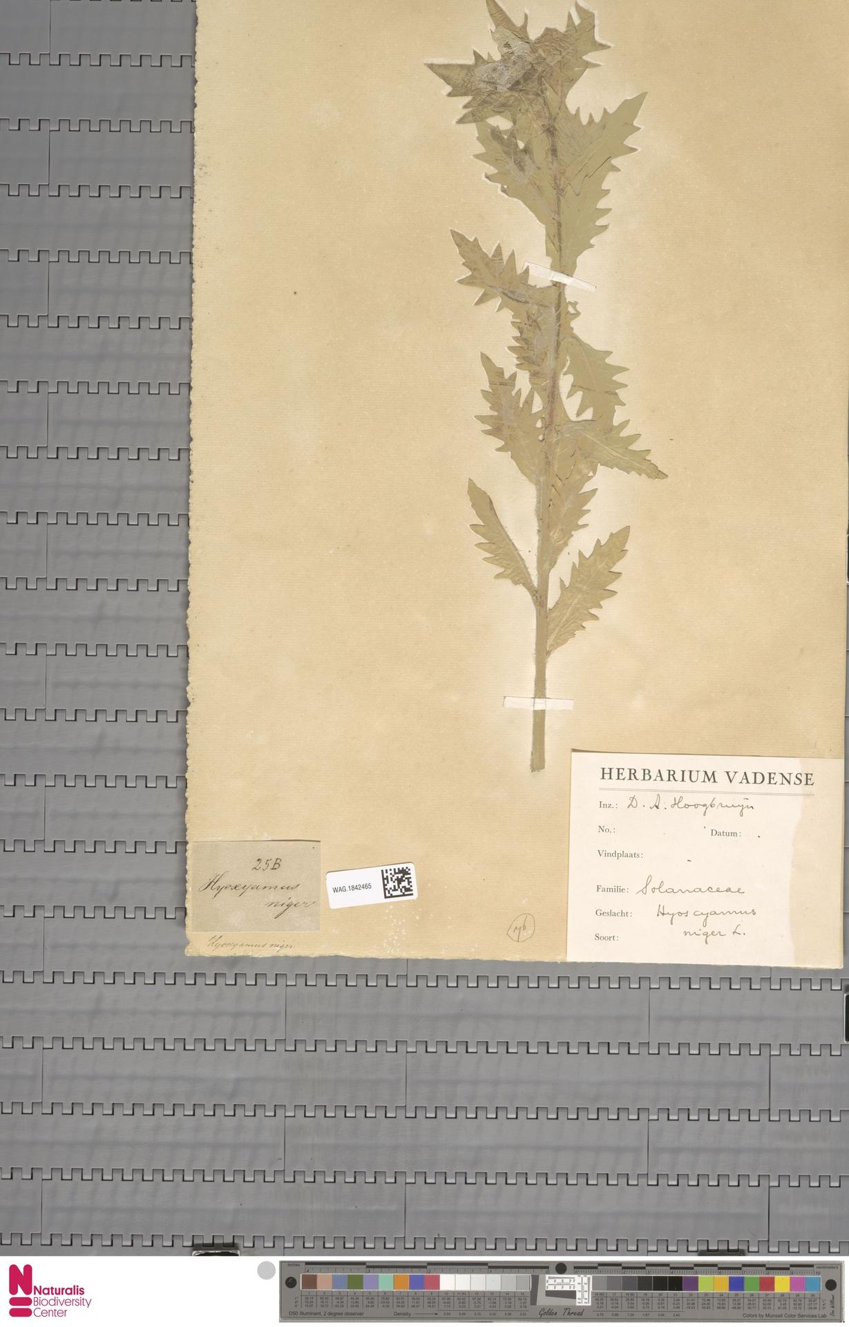 WAG.1842465 | Hyoscyamus niger L.
