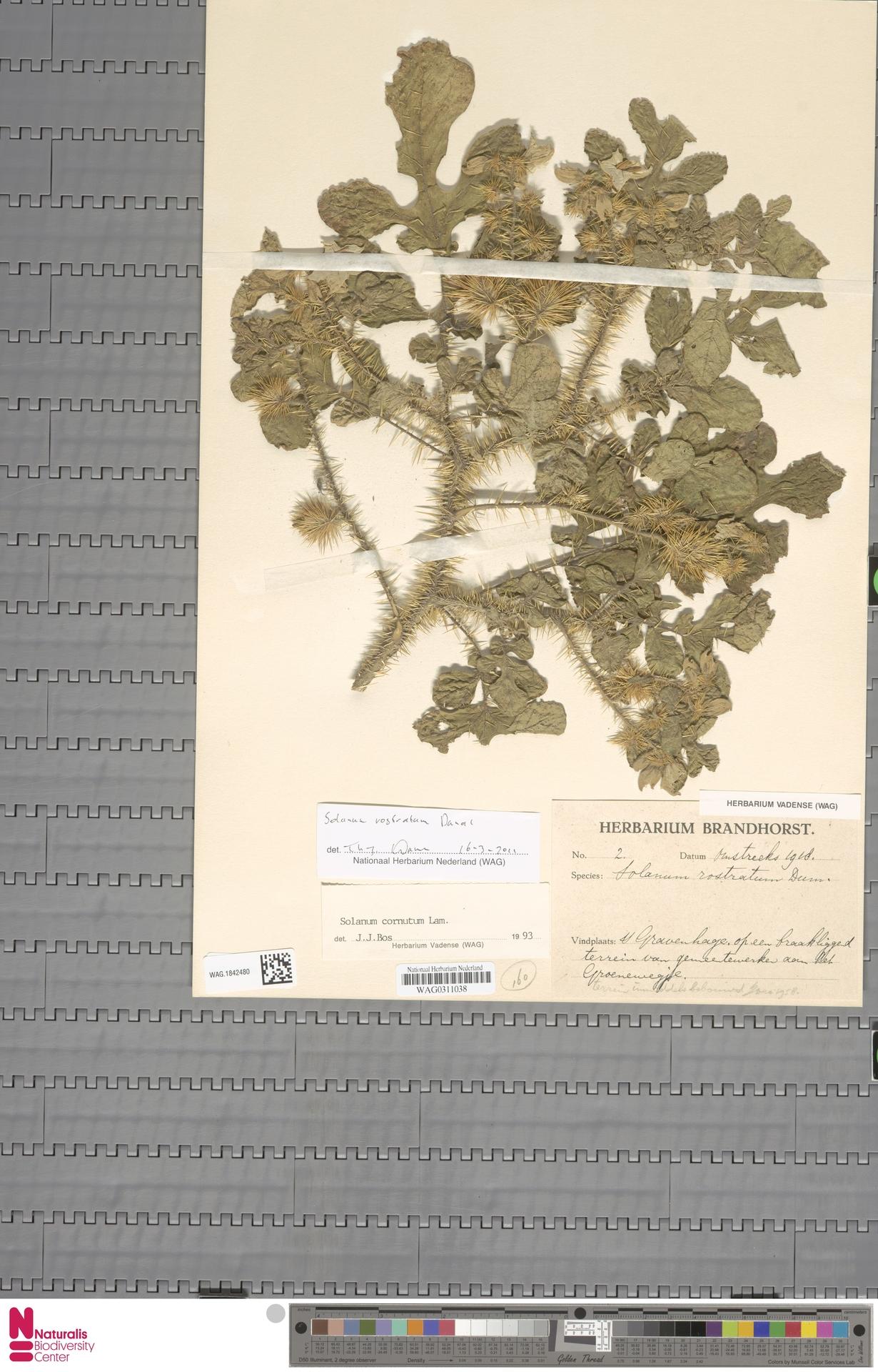 WAG.1842480 | Solanum rostratum Dunal