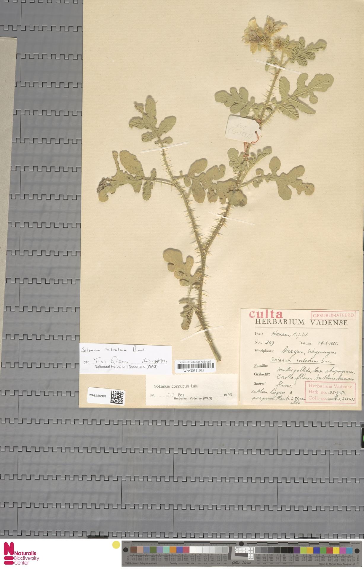 WAG.1842481 | Solanum rostratum Dunal