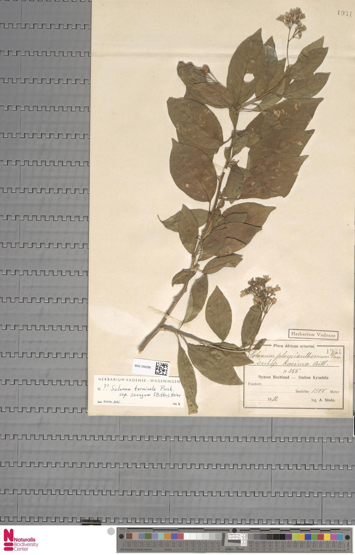 WAG.1843286   Solanum plousianthemum subsp. kasima Bitter