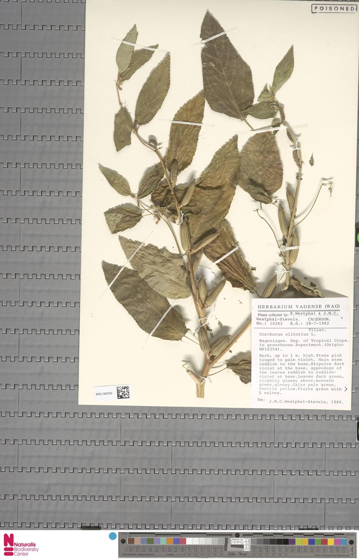 WAG.1843763 | Corchorus olitorius L.