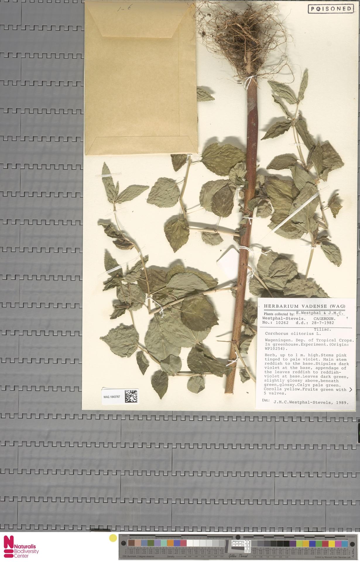 WAG.1843767 | Corchorus olitorius L.