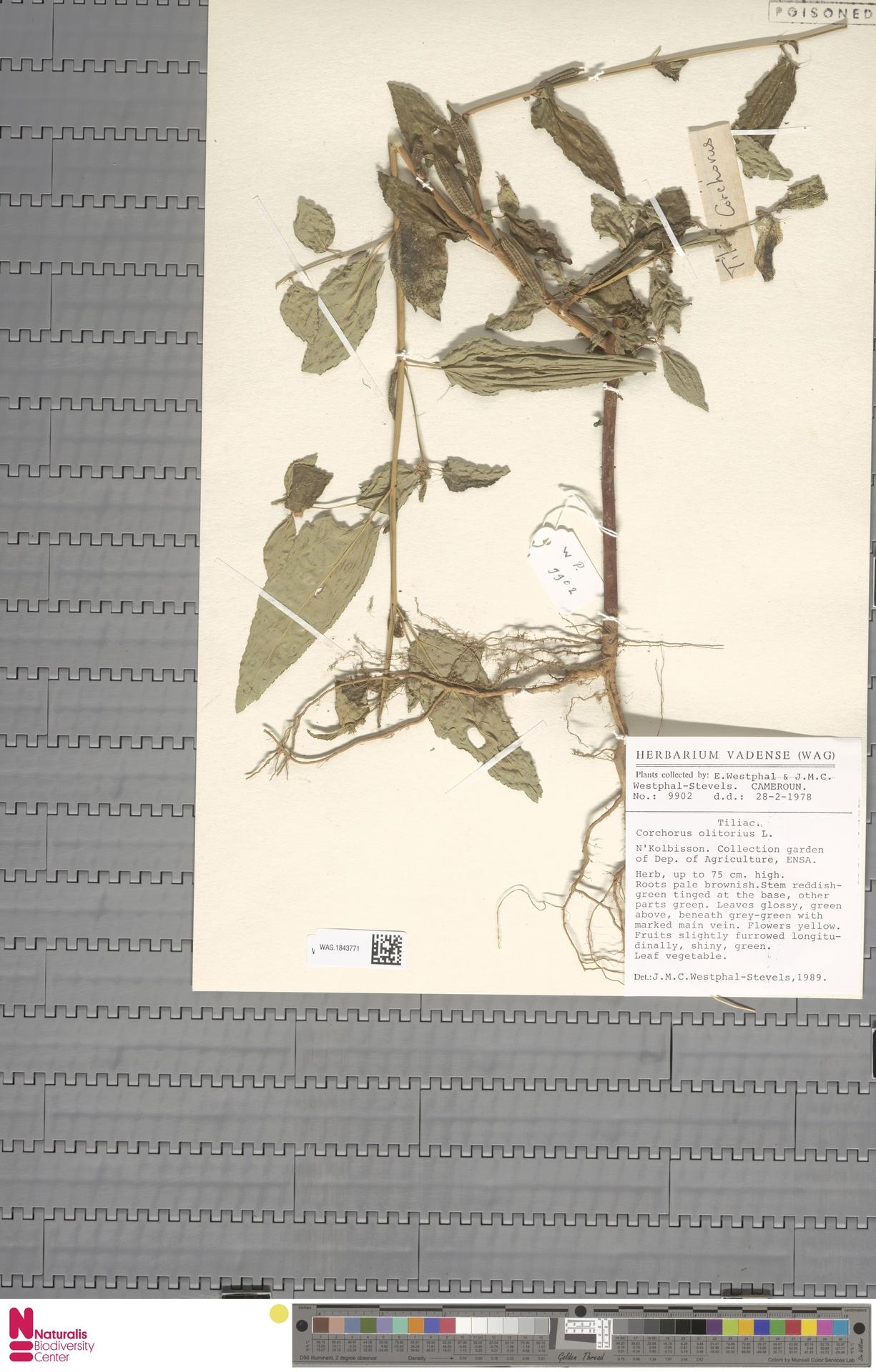 WAG.1843771 | Corchorus olitorius L.