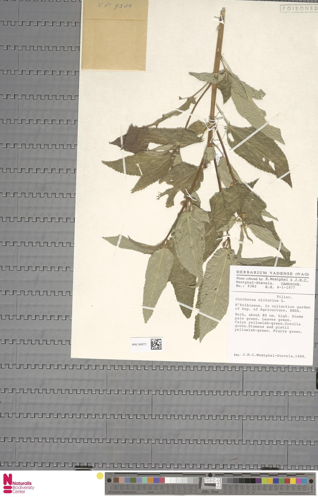 WAG.1843777 | Corchorus olitorius L.