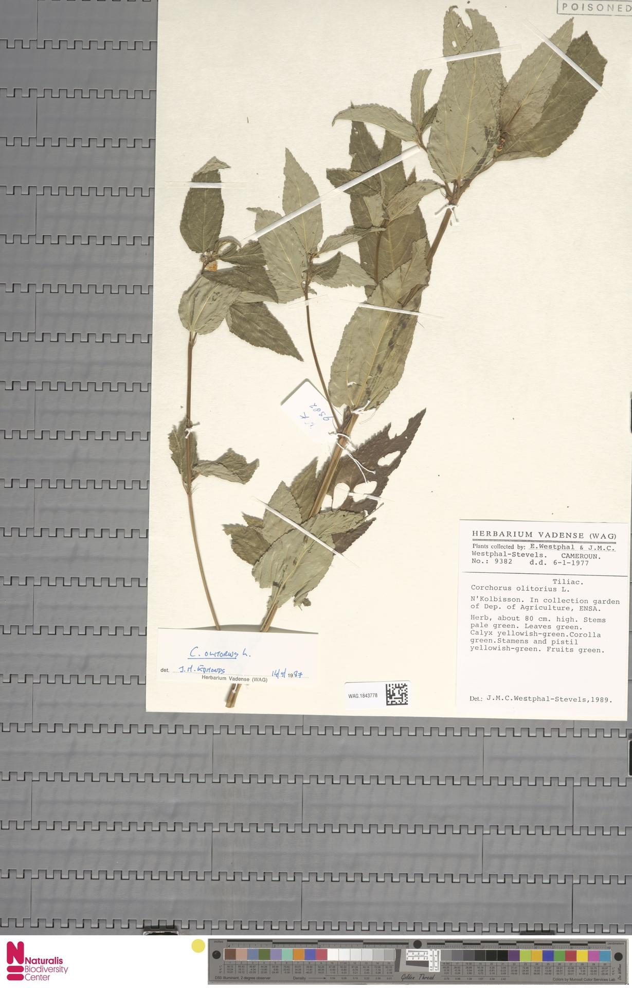 WAG.1843778 | Corchorus olitorius L.
