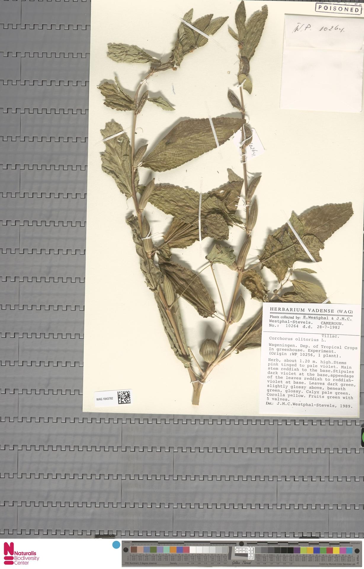 WAG.1843782 | Corchorus olitorius L.