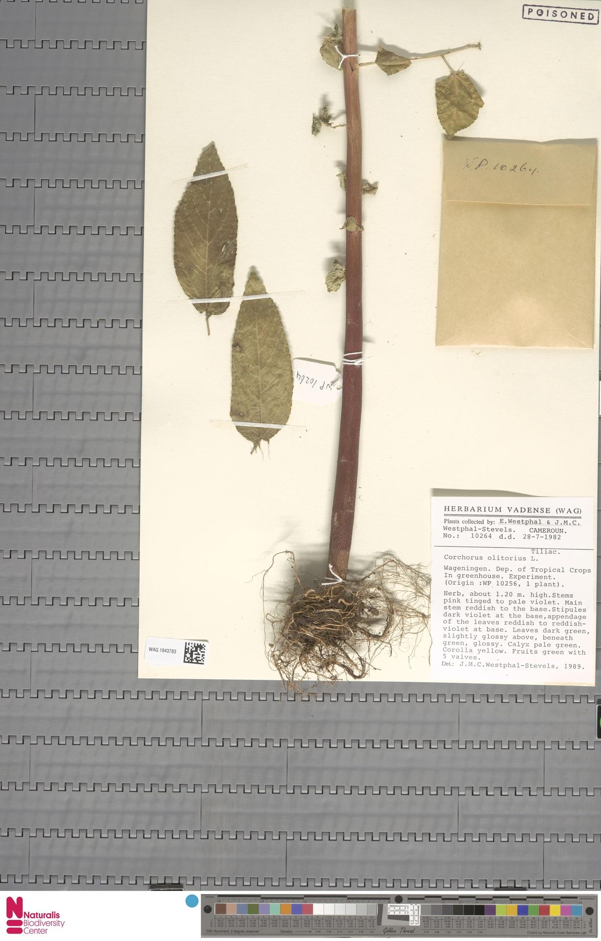 WAG.1843783 | Corchorus olitorius L.