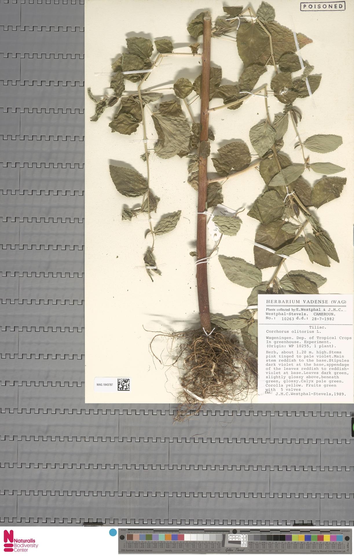 WAG.1843787   Corchorus olitorius L.