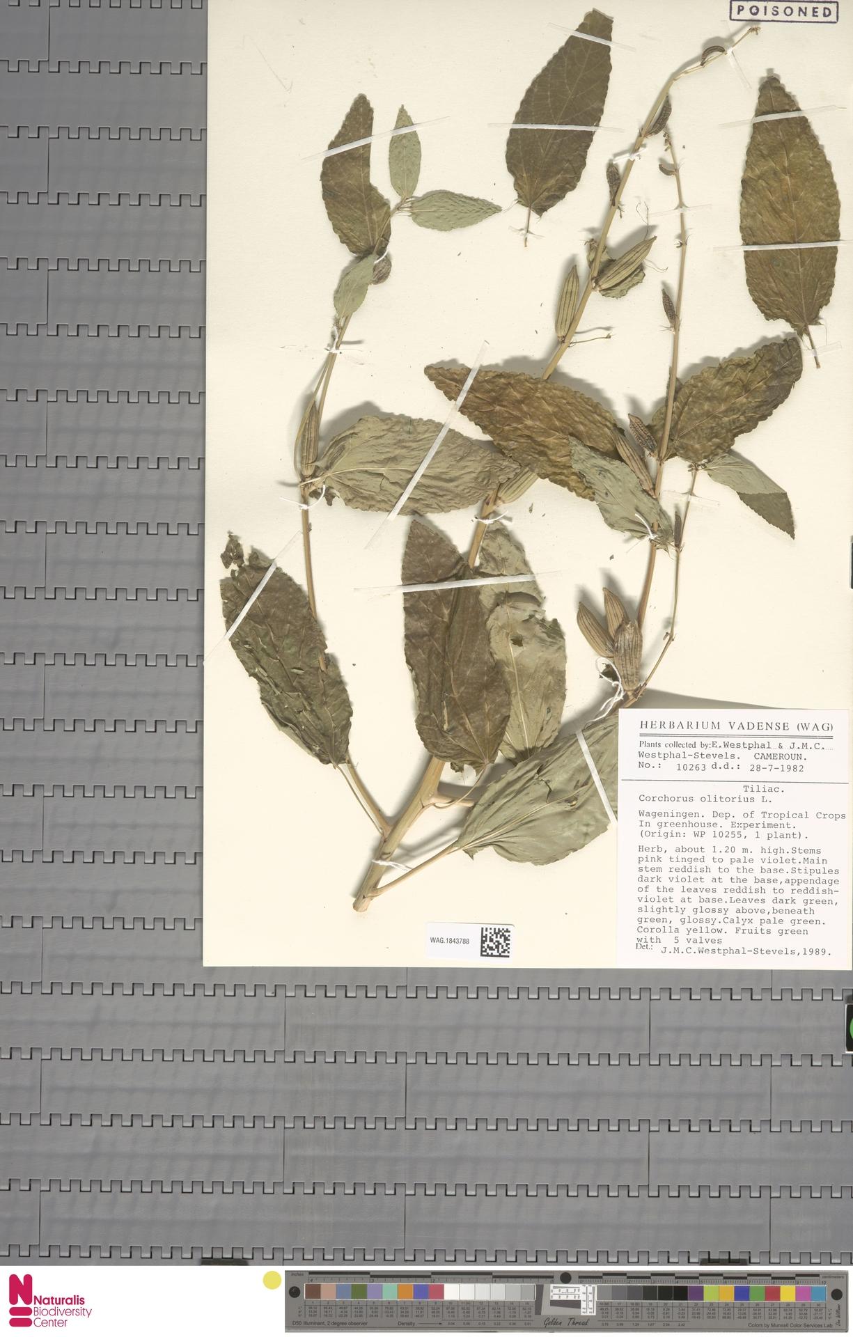 WAG.1843788 | Corchorus olitorius L.