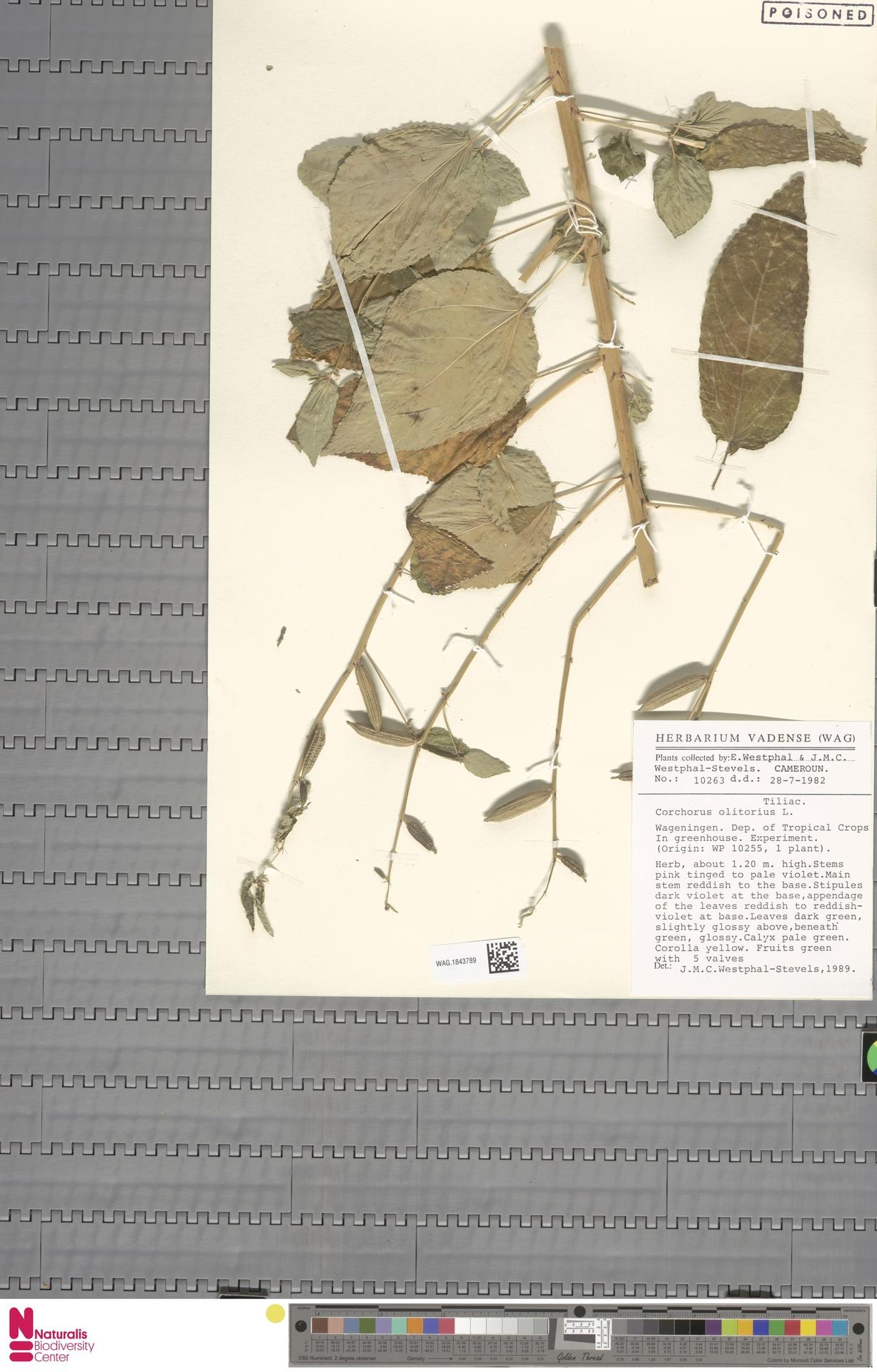 WAG.1843789 | Corchorus olitorius L.