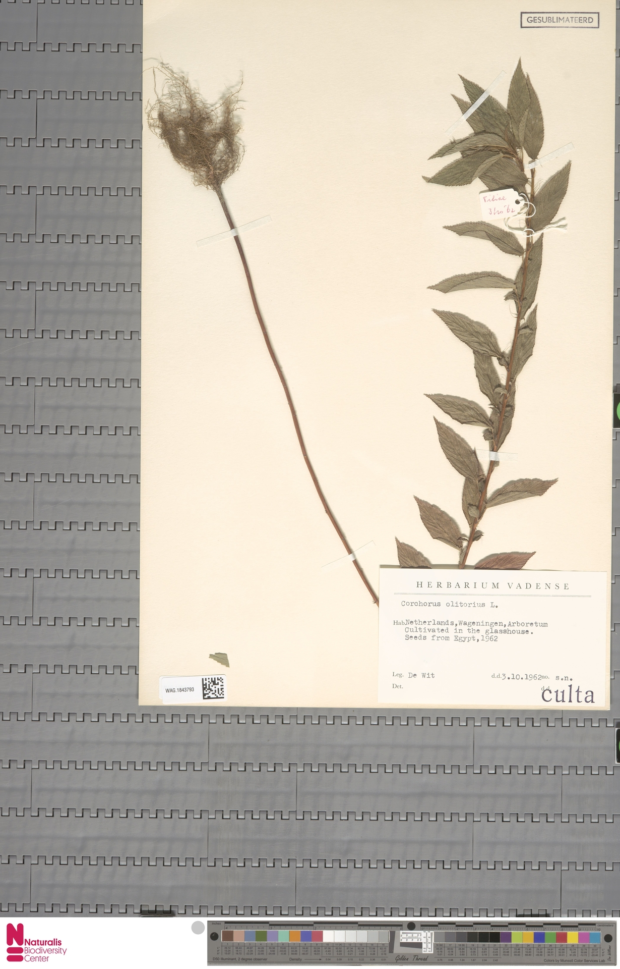 WAG.1843793 | Corchorus olitorius L.