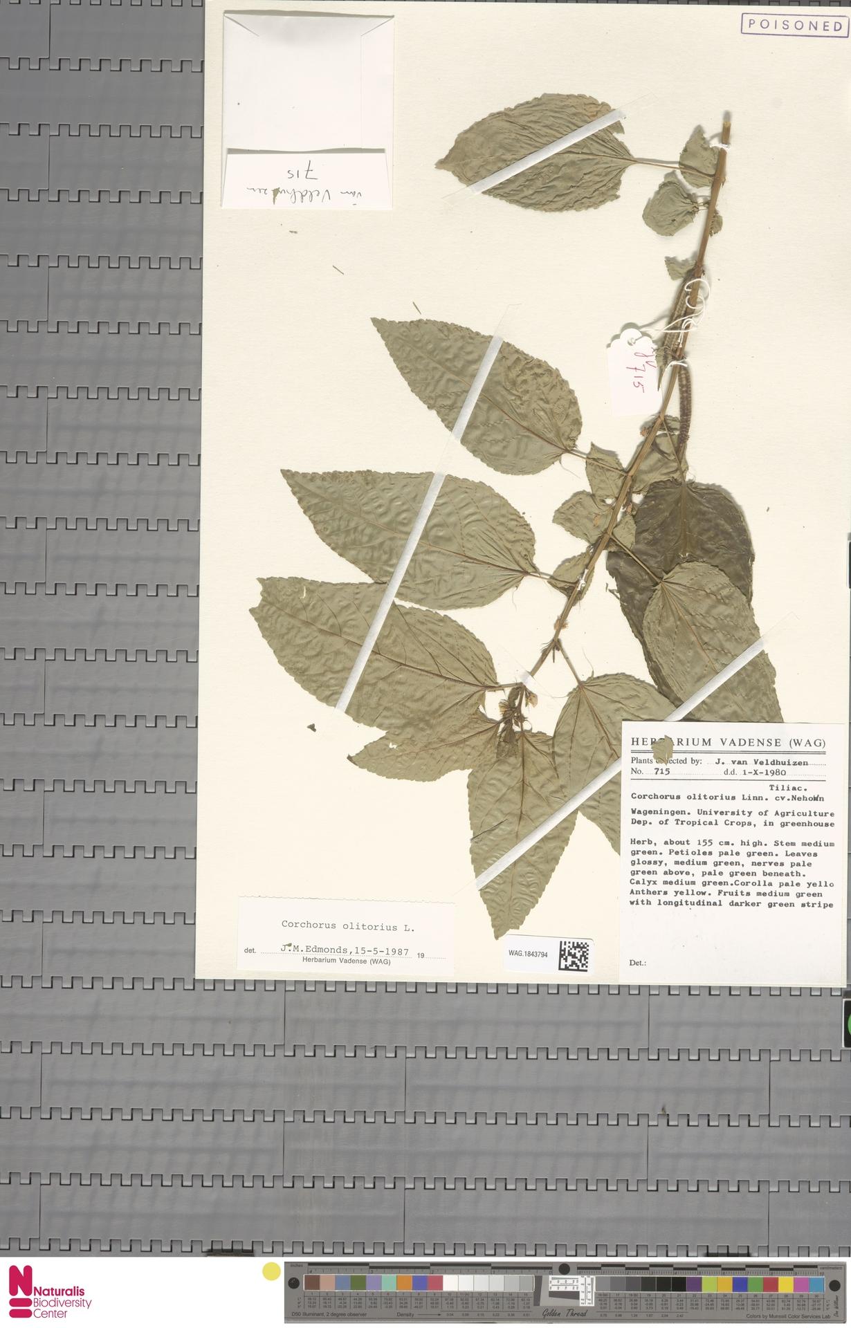 WAG.1843794 | Corchorus olitorius L.