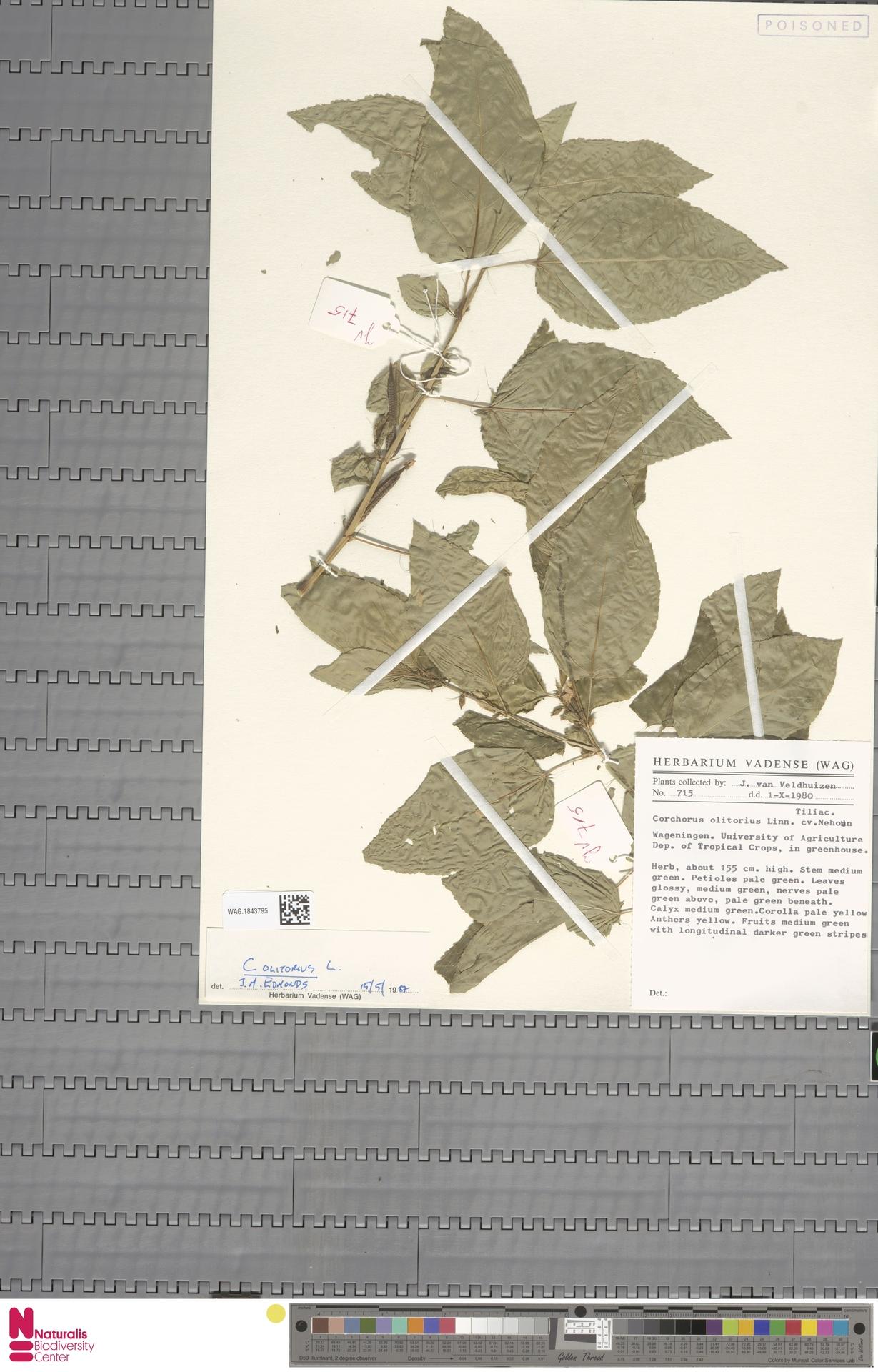 WAG.1843795 | Corchorus olitorius L.
