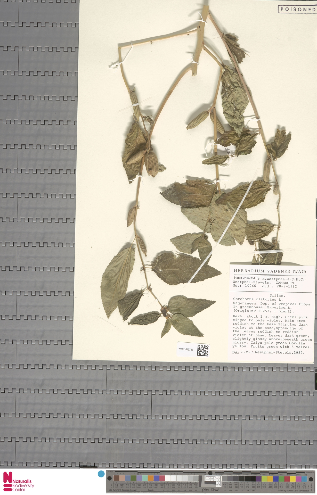 WAG.1843796 | Corchorus olitorius L.