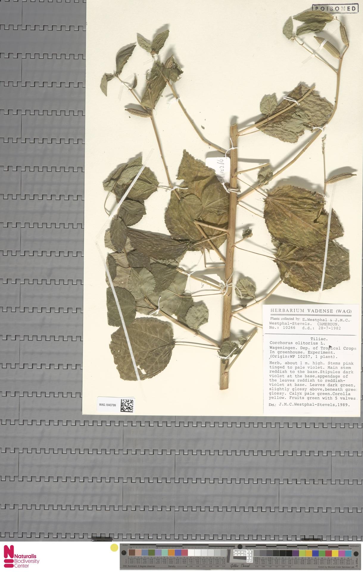 WAG.1843799 | Corchorus olitorius L.