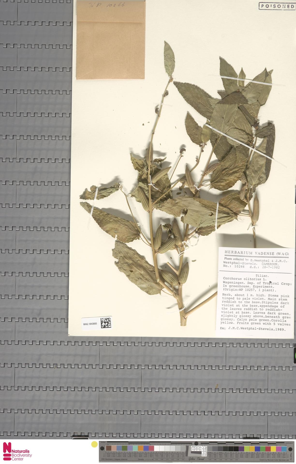 WAG.1843800 | Corchorus olitorius L.