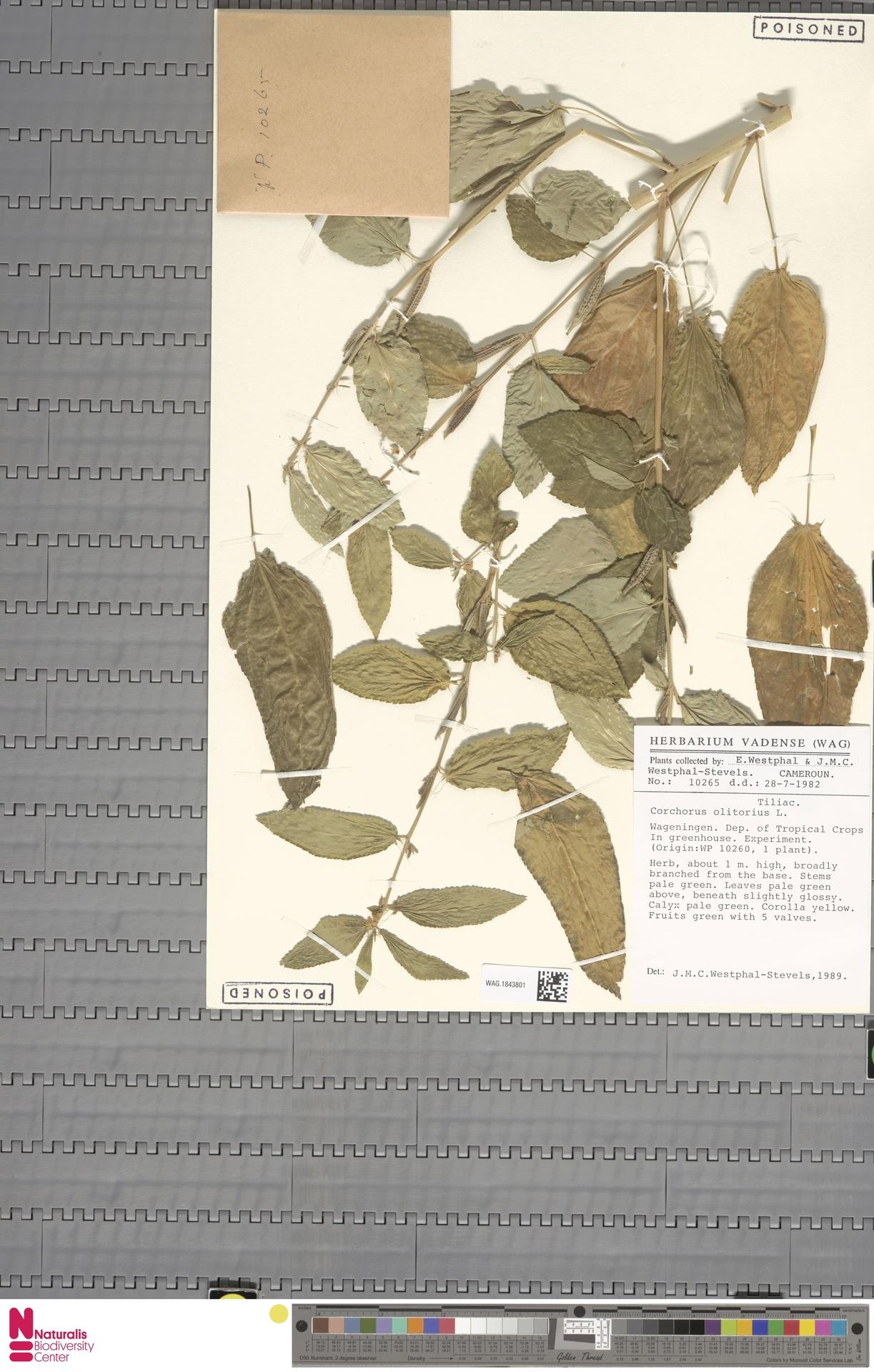 WAG.1843801   Corchorus olitorius L.