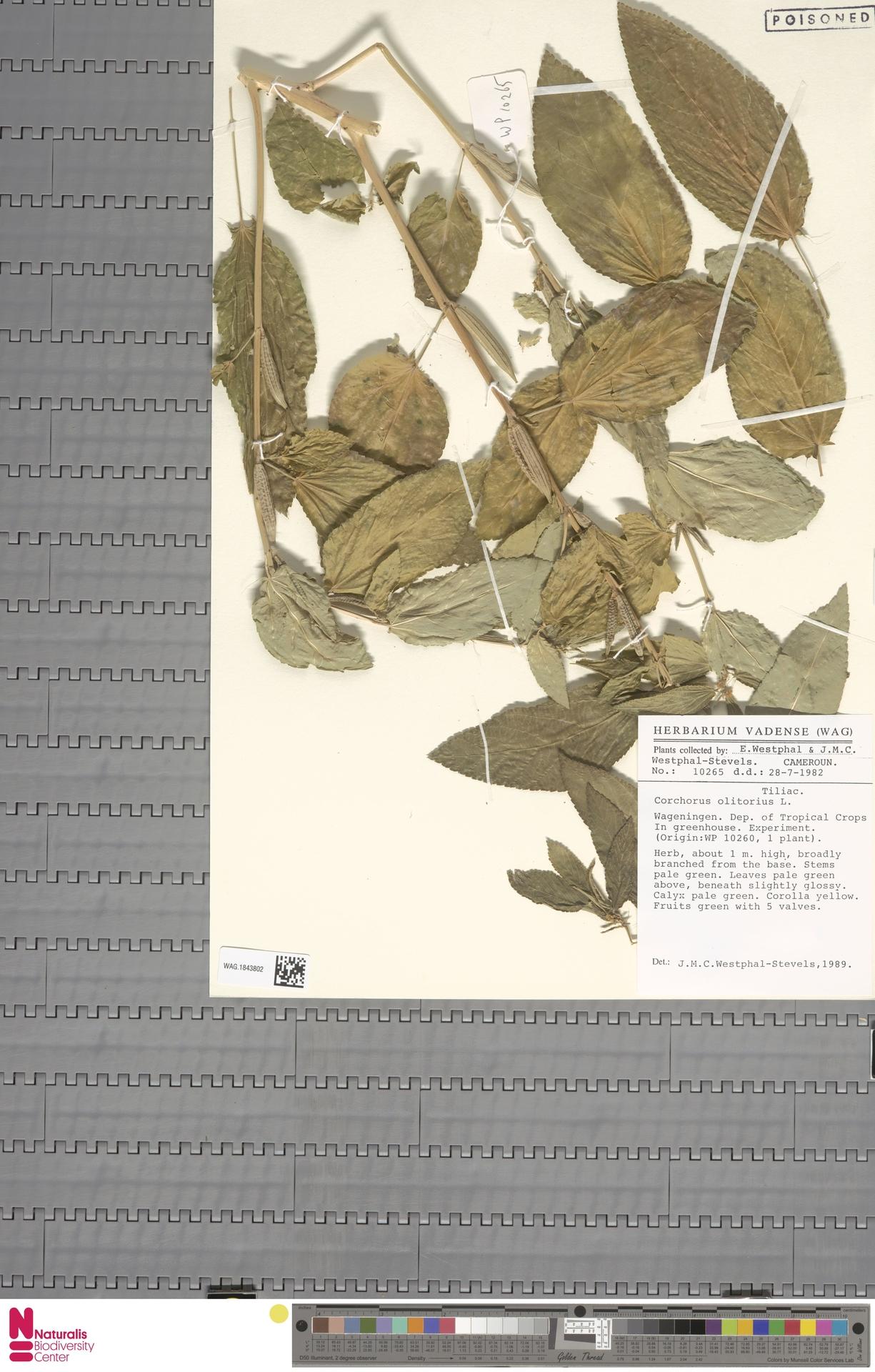 WAG.1843802 | Corchorus olitorius L.