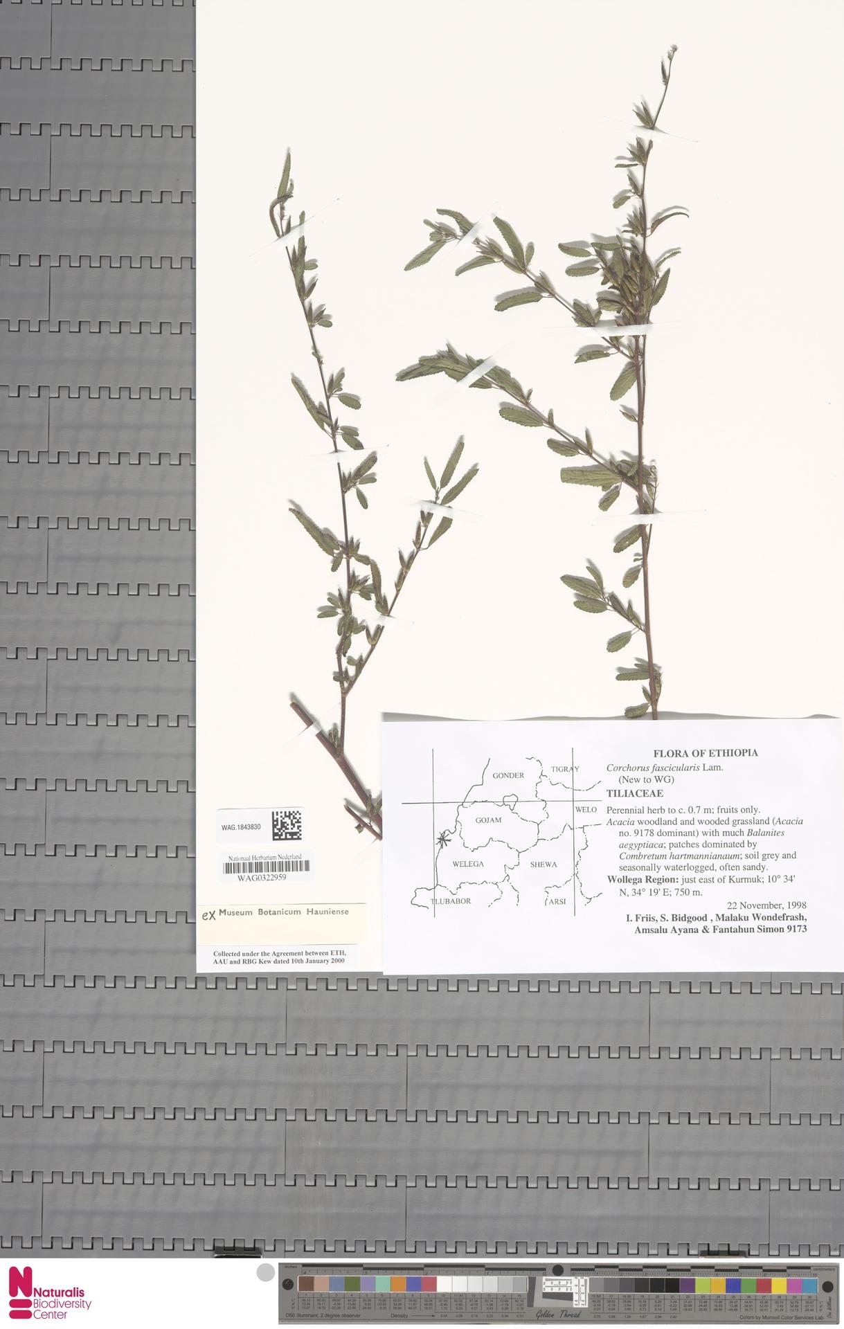 WAG.1843830 | Corchorus fascicularis Lam.