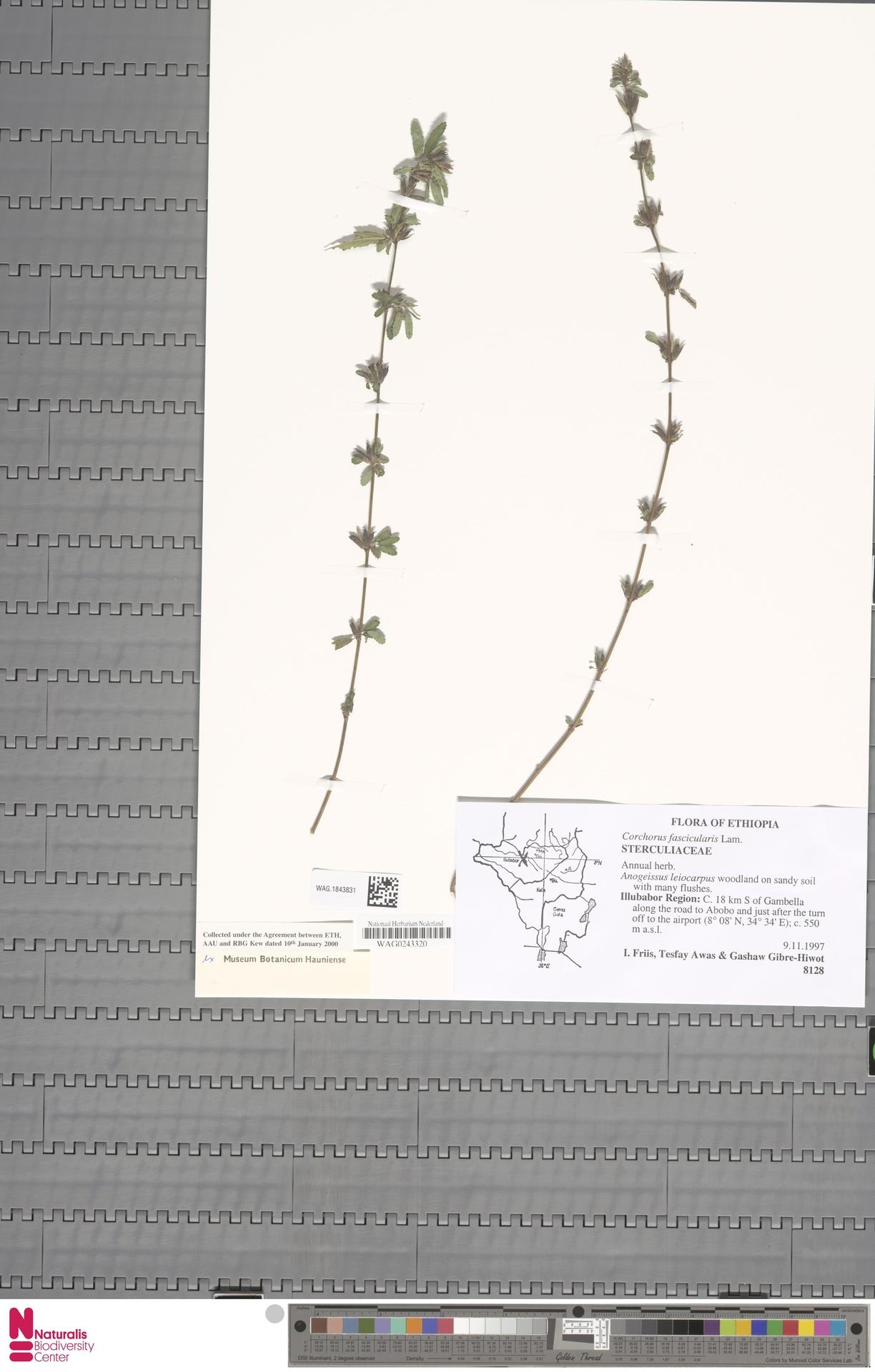 WAG.1843831 | Corchorus fascicularis Lam.