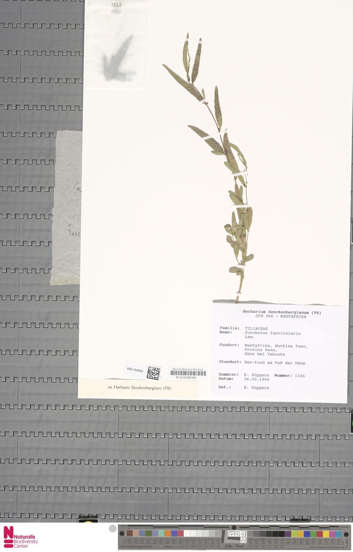 WAG.1843832 | Corchorus fascicularis Lam.