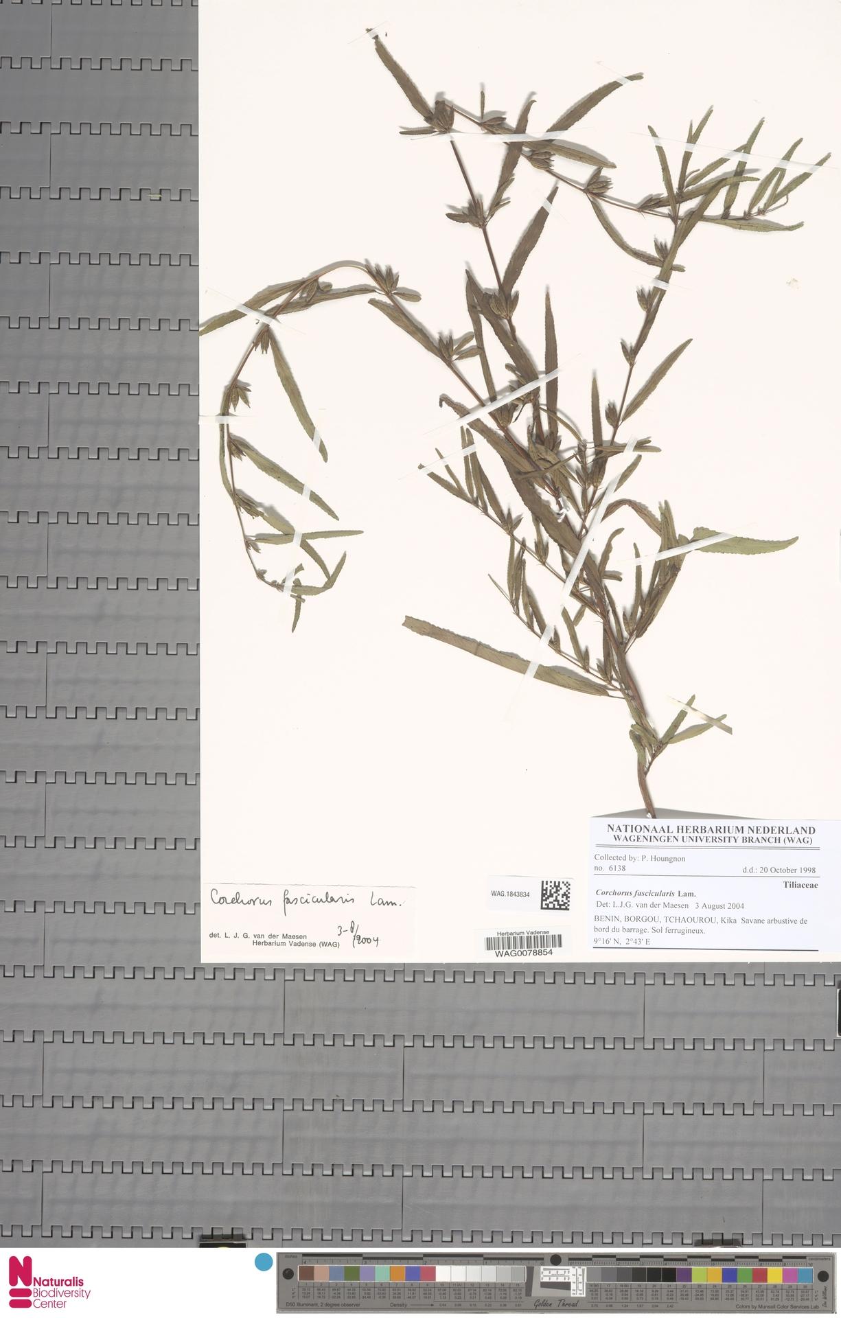 WAG.1843834 | Corchorus fascicularis Lam.