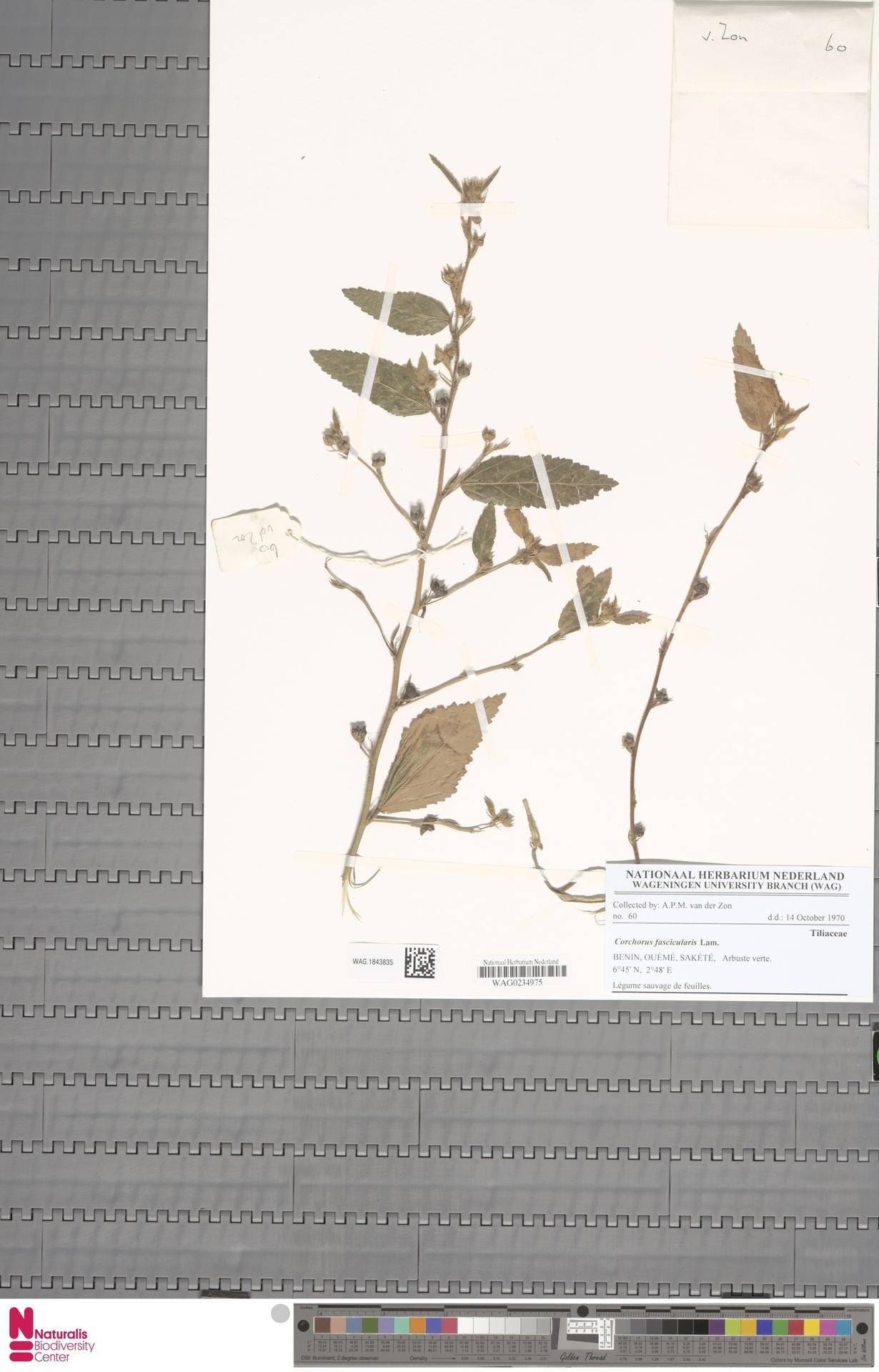 WAG.1843835 | Corchorus fascicularis Lam.