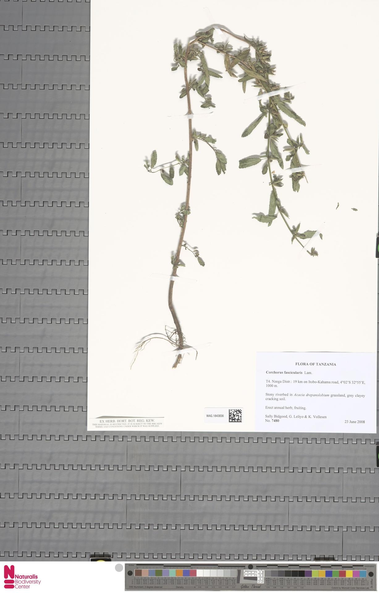 WAG.1843836 | Corchorus fascicularis Lam.
