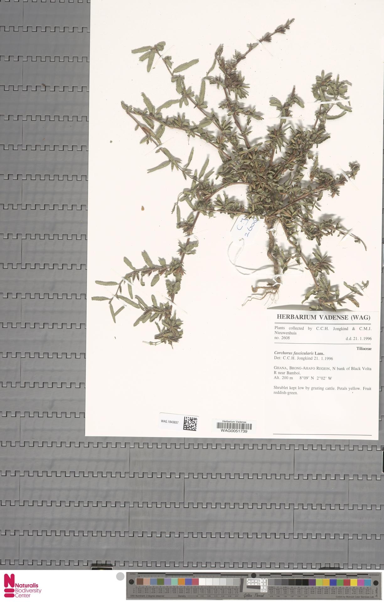 WAG.1843837 | Corchorus fascicularis Lam.