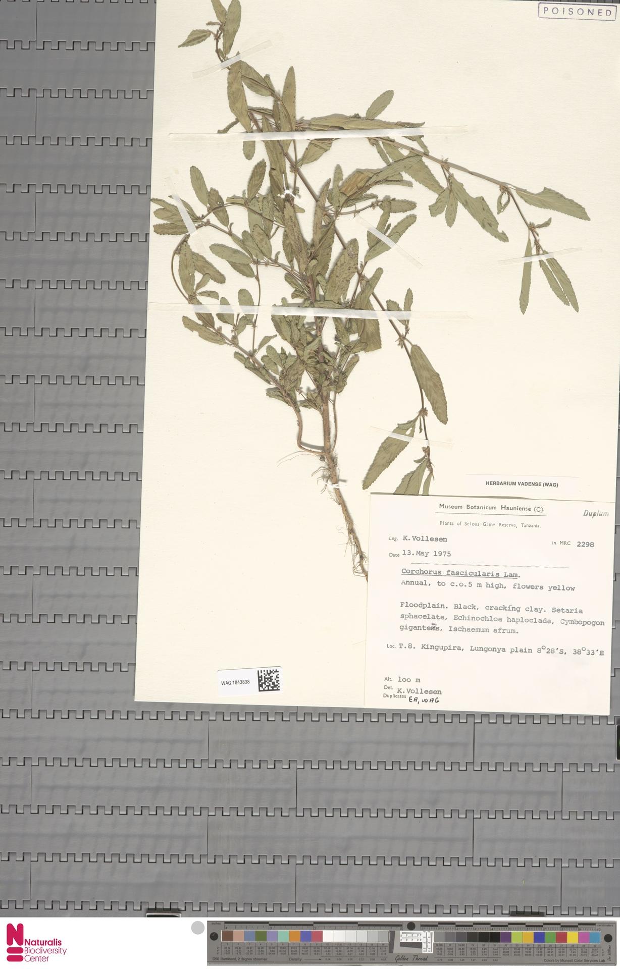 WAG.1843838 | Corchorus fascicularis Lam.